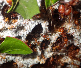 Leaf-cutter ants tend to the fungus they feed on. Photo credit: Carlos de la Rosa